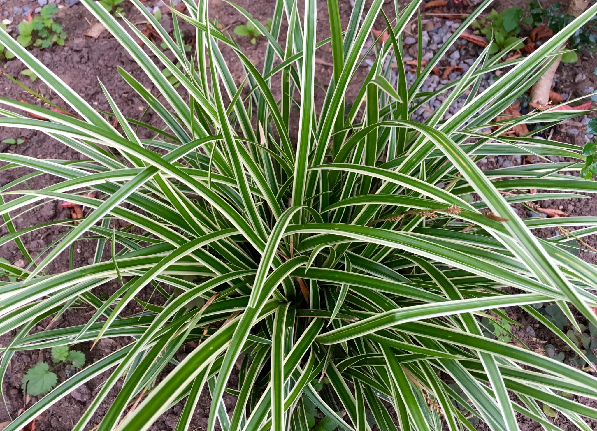 This Carex can spread. Unlike so many where I think the more the better, I like this a little more under control.
