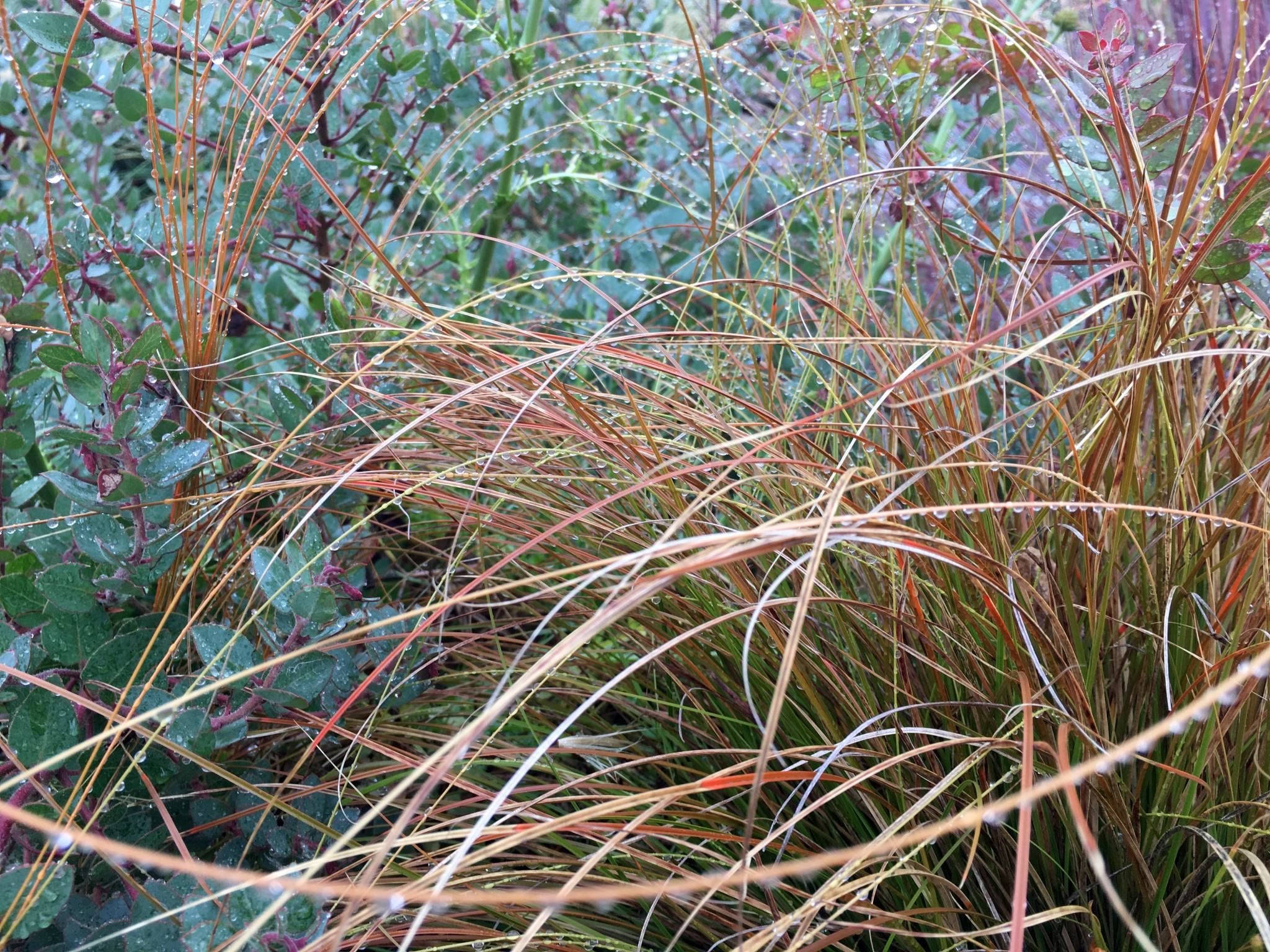 Carex testacea aka Orange New Zealand Sedge.