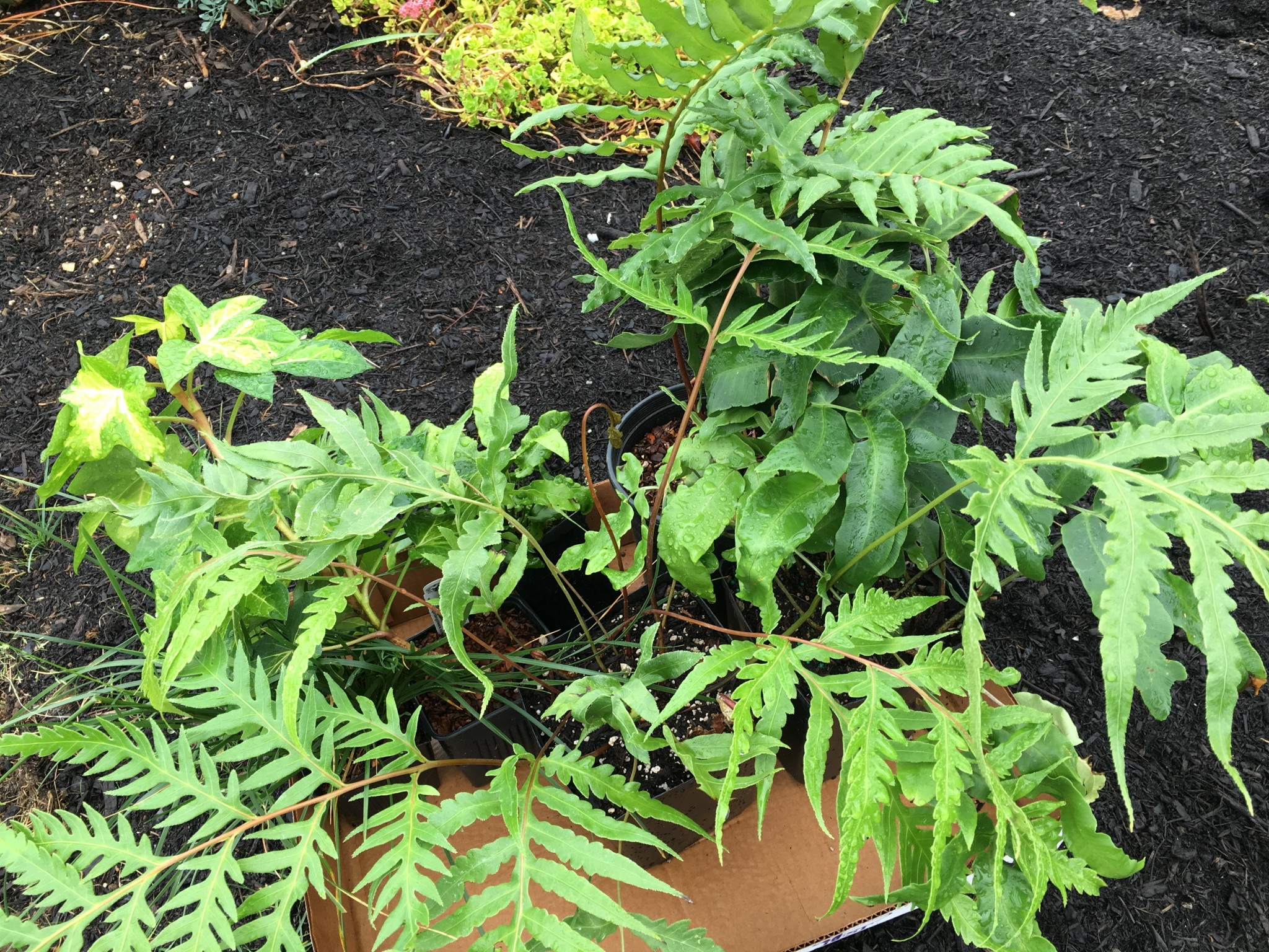 Buy plants. Tuck them in. Fern id to be noted at a later date.