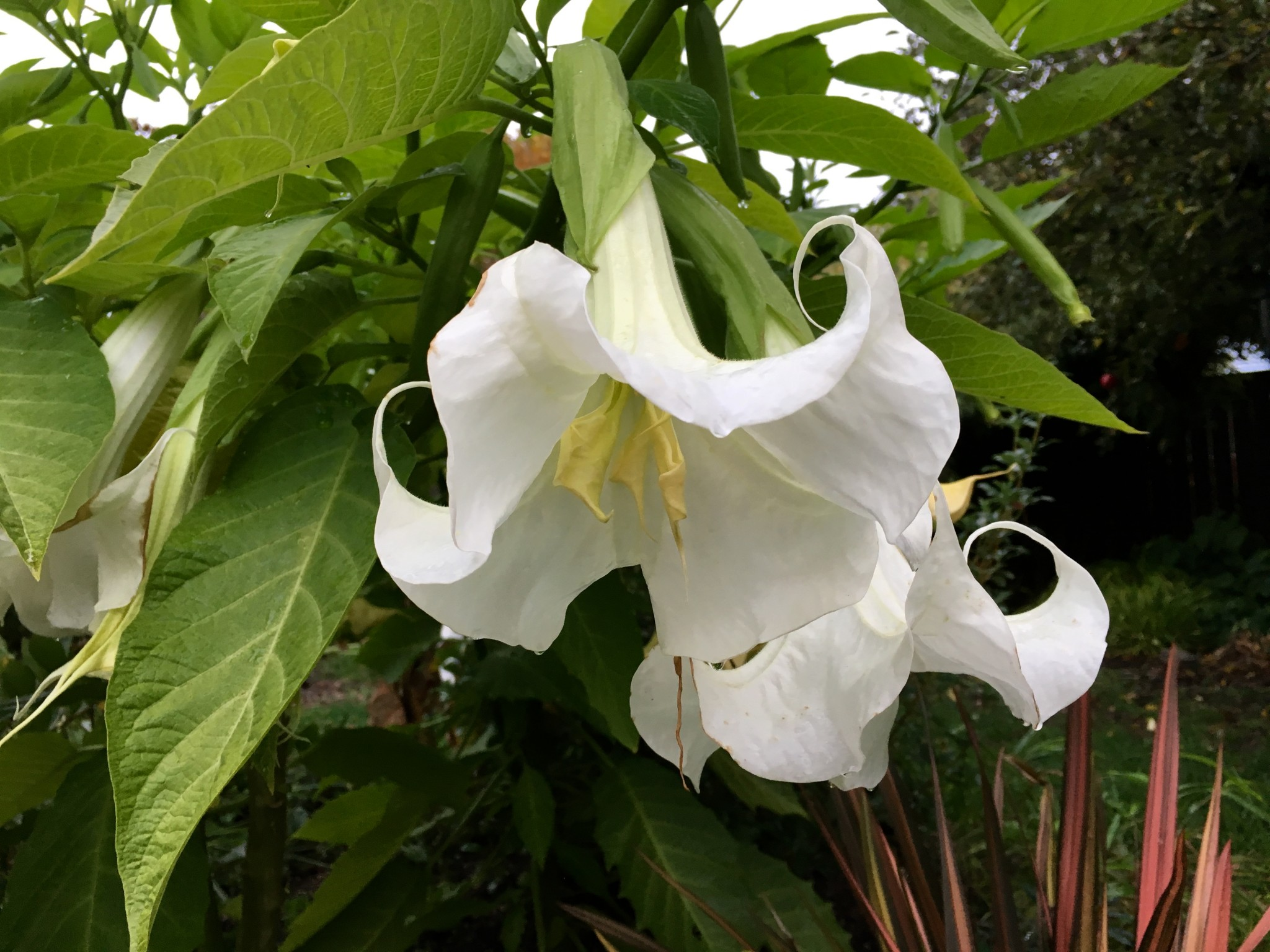 Brugmansia 'Single White'