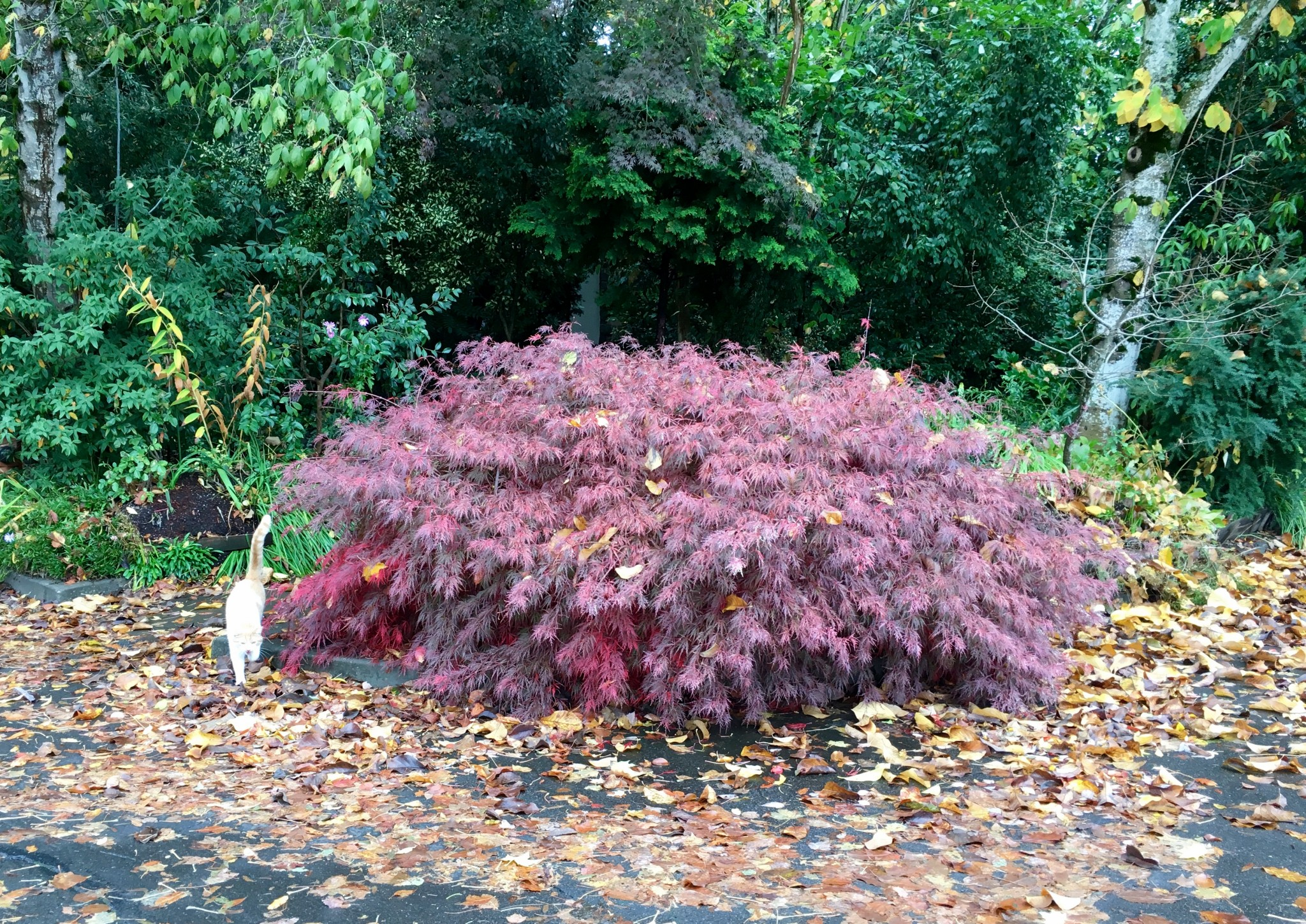 Japanese Lace Leaf Maple all on its ownsome.