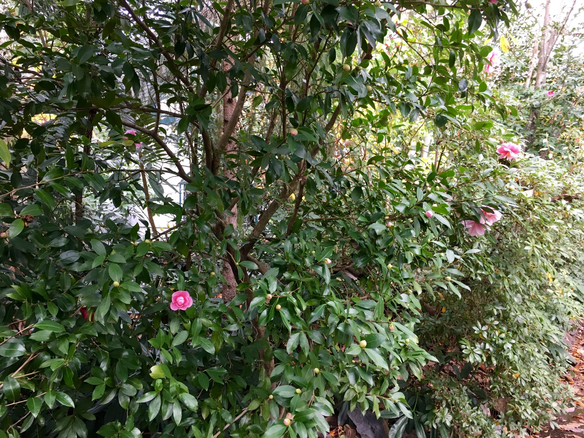 Free form camellias, the way they want to be.