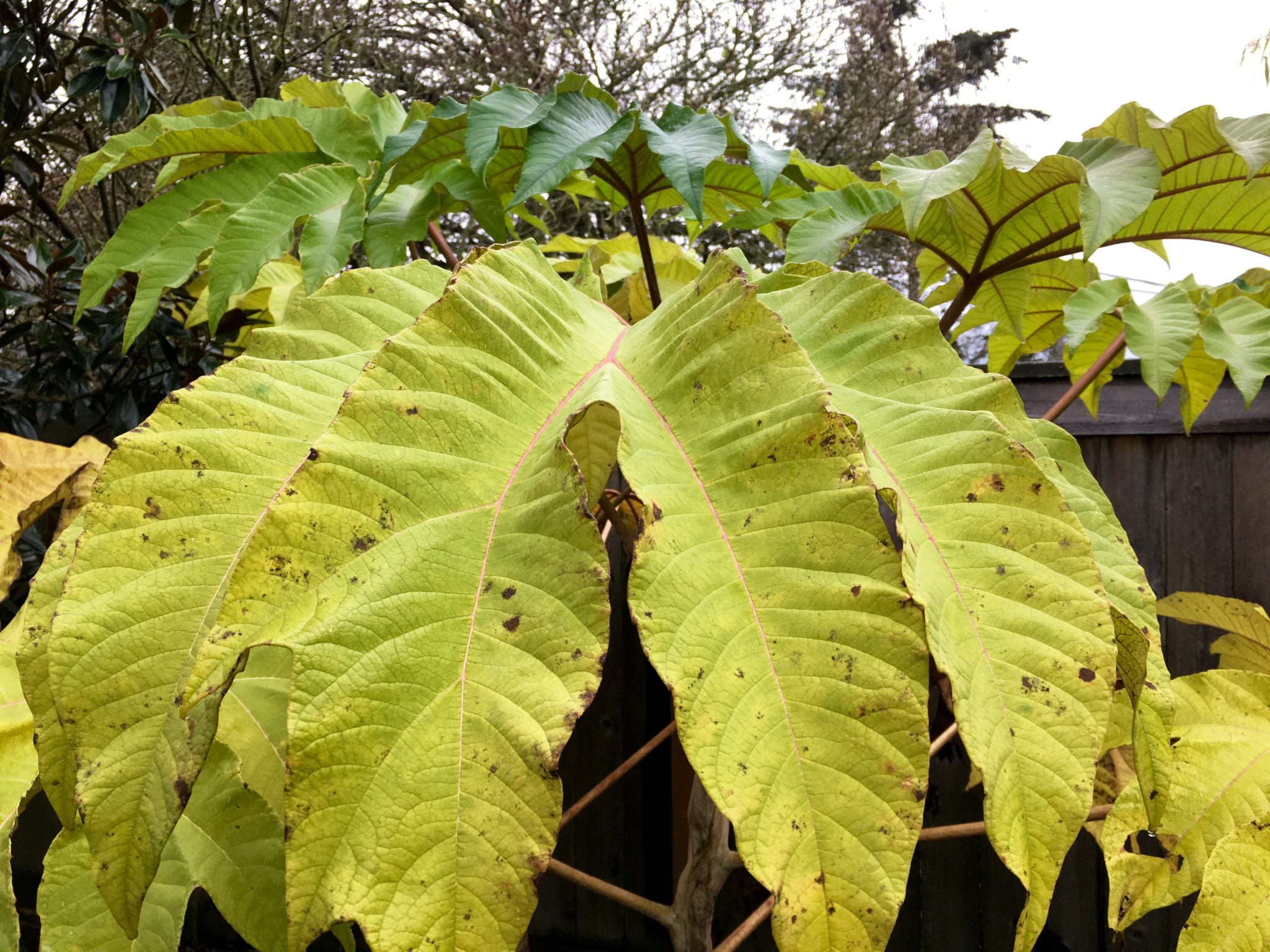 Tetrapanax in less protected location fading faster.