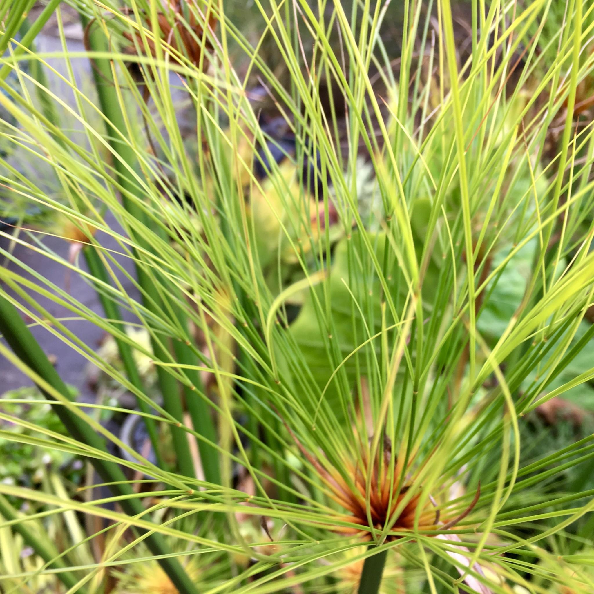 Cyperus papyrus aka Egyptian Papyrus