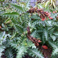Acanthus sennii fading blooms