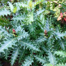 Acanthus foliage looking sharp.