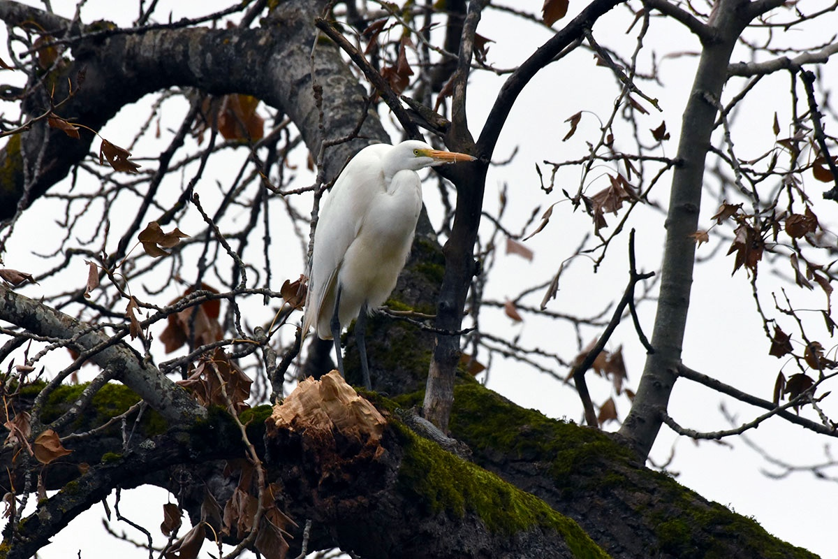 Great Egret near PDX