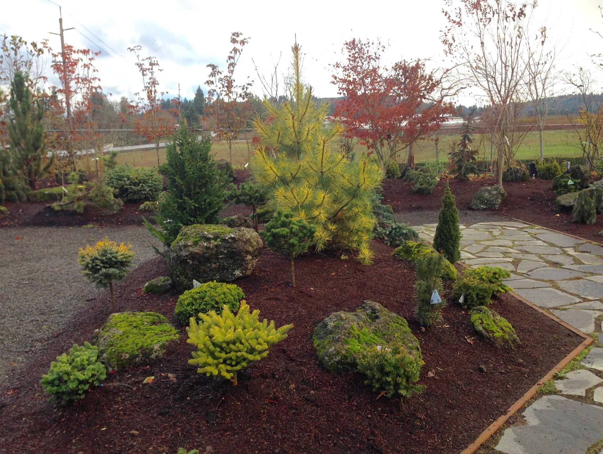 Conifer display garden at Boring Bark.