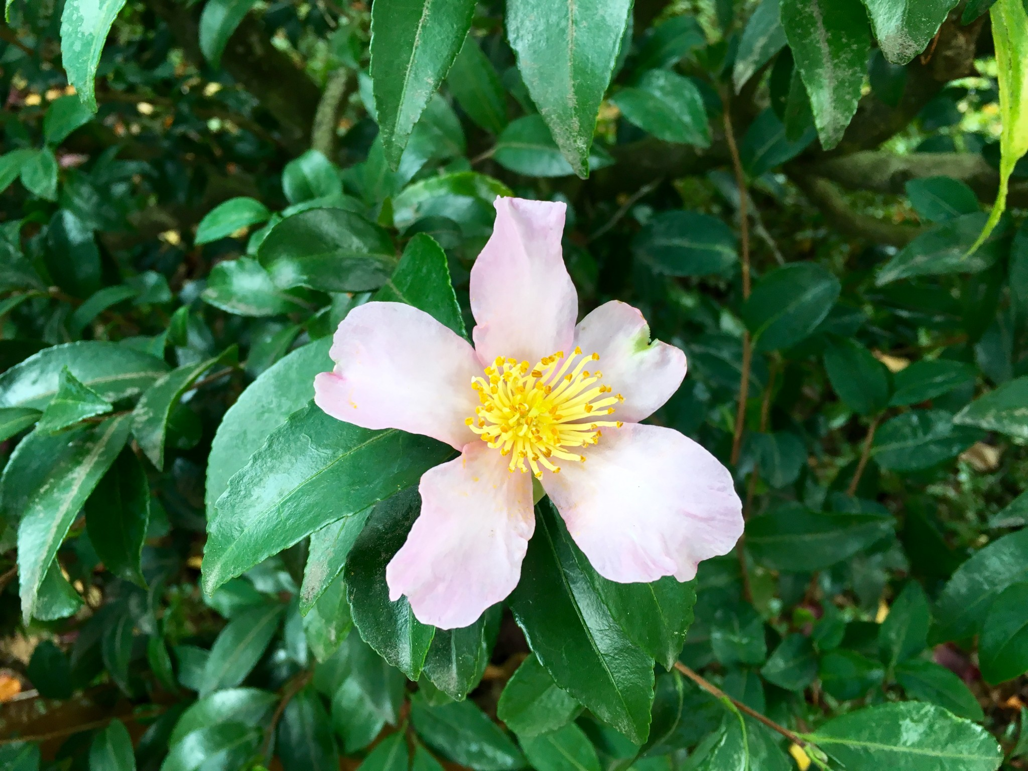 Camellia on the Concordia University Campus.