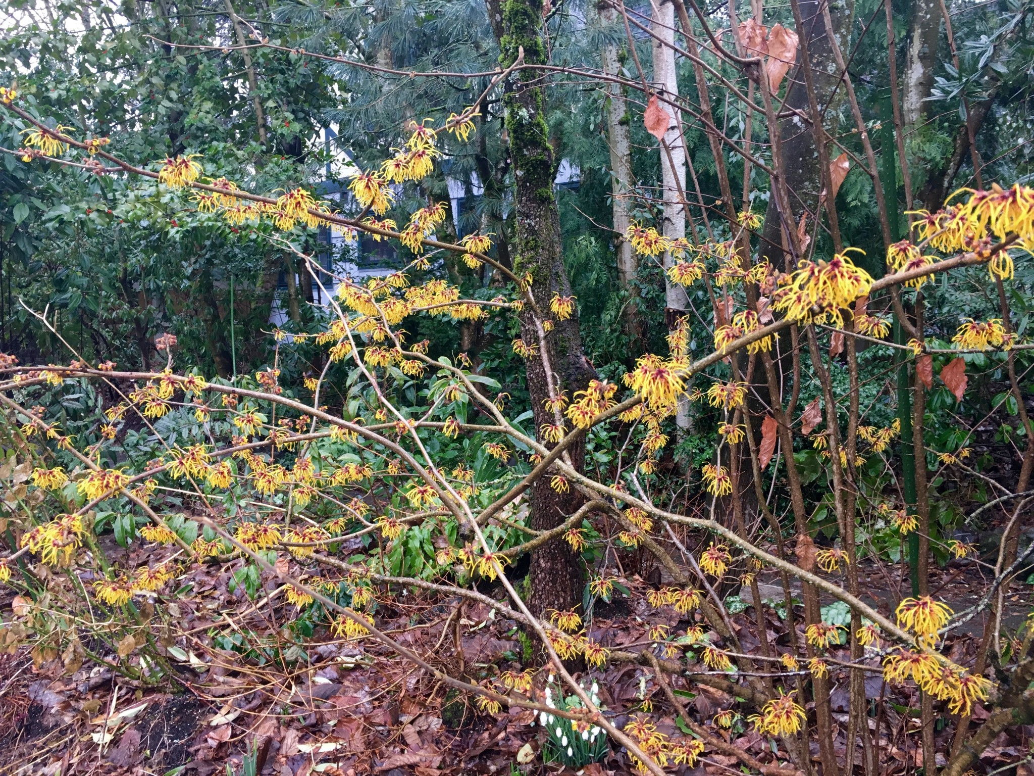 Hamamelis NOID in Skidmore Woods.