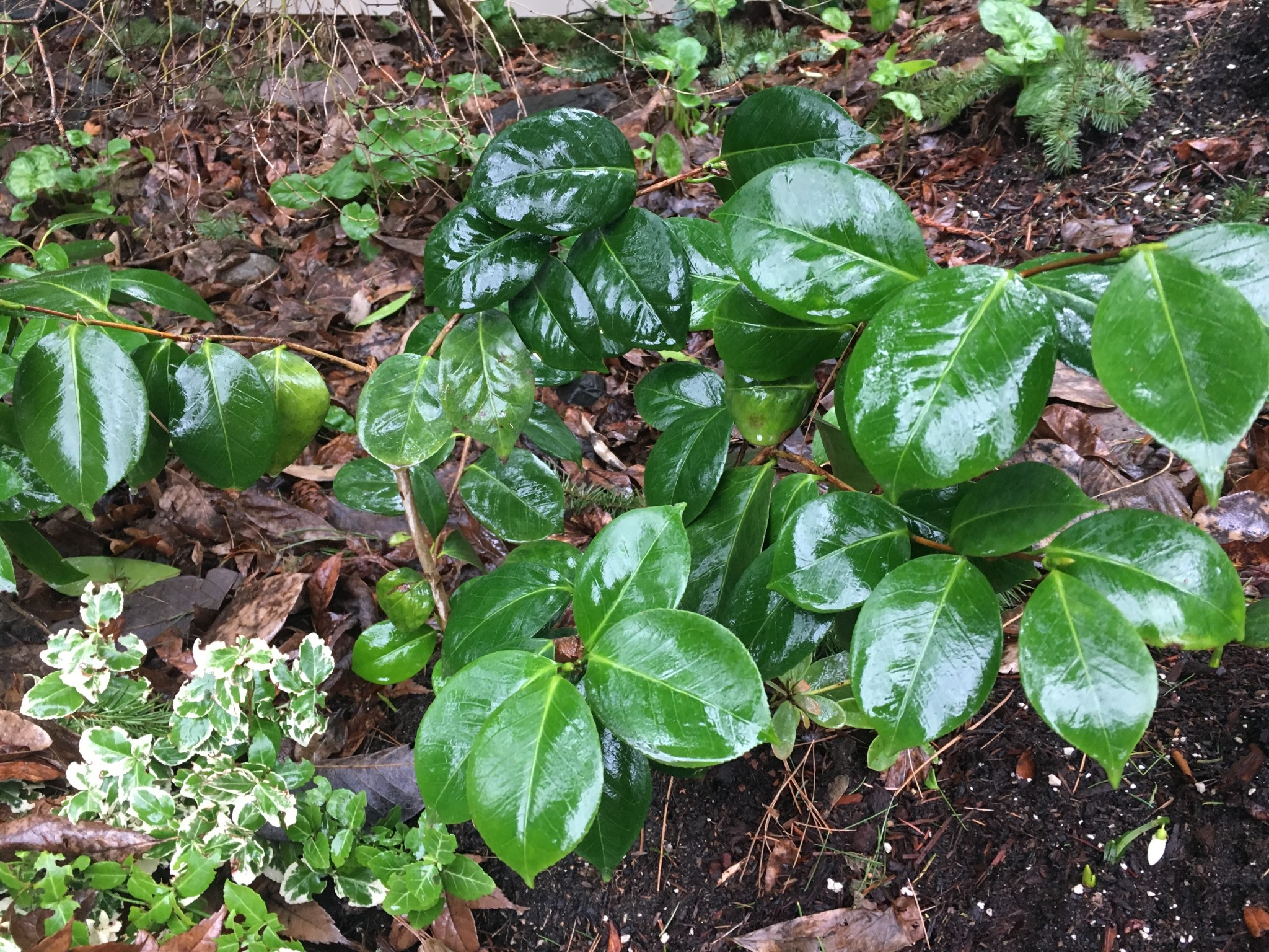Shiny green leaves. Camellia?