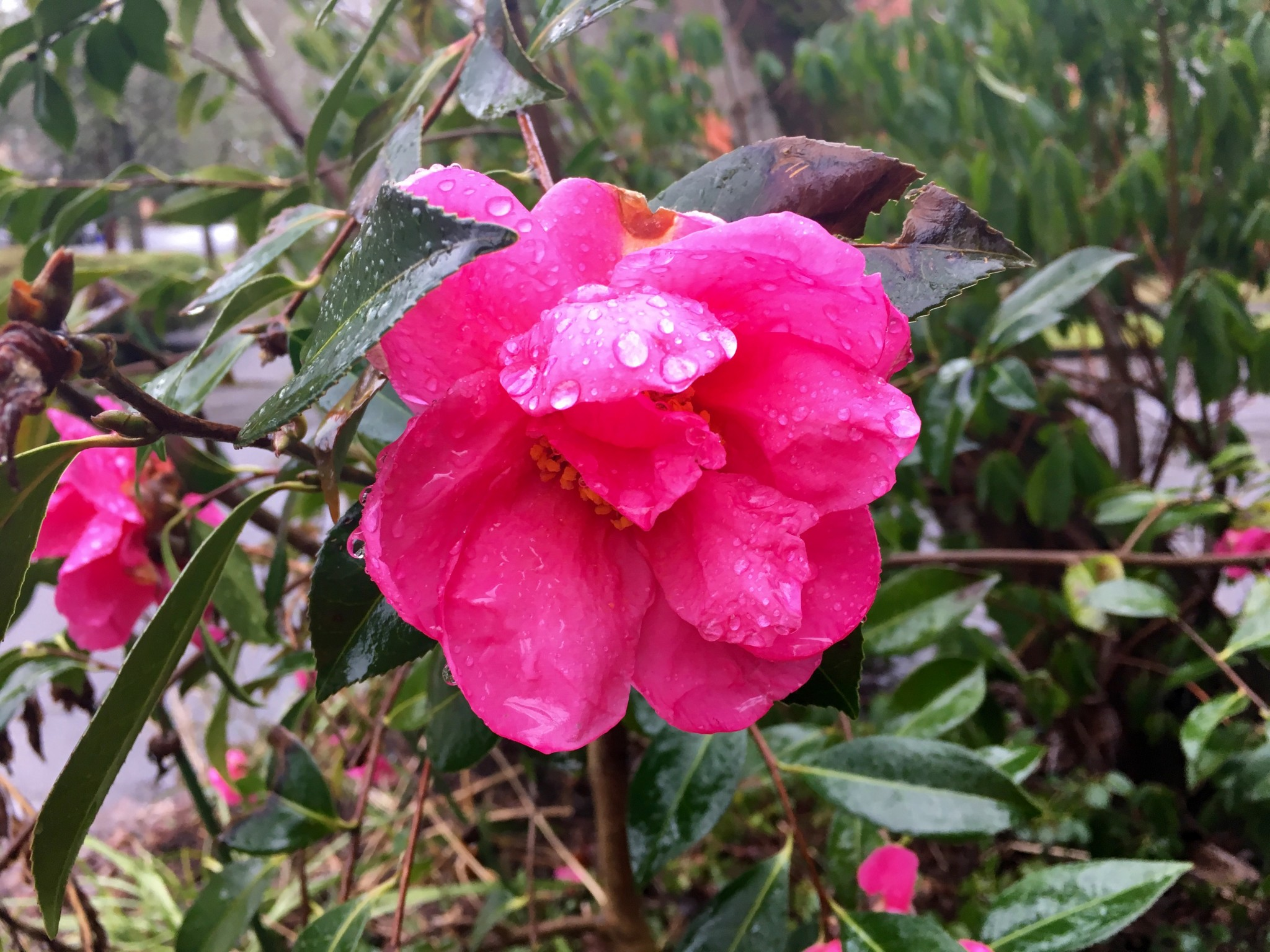 Camellia NOID strutting its stuff.