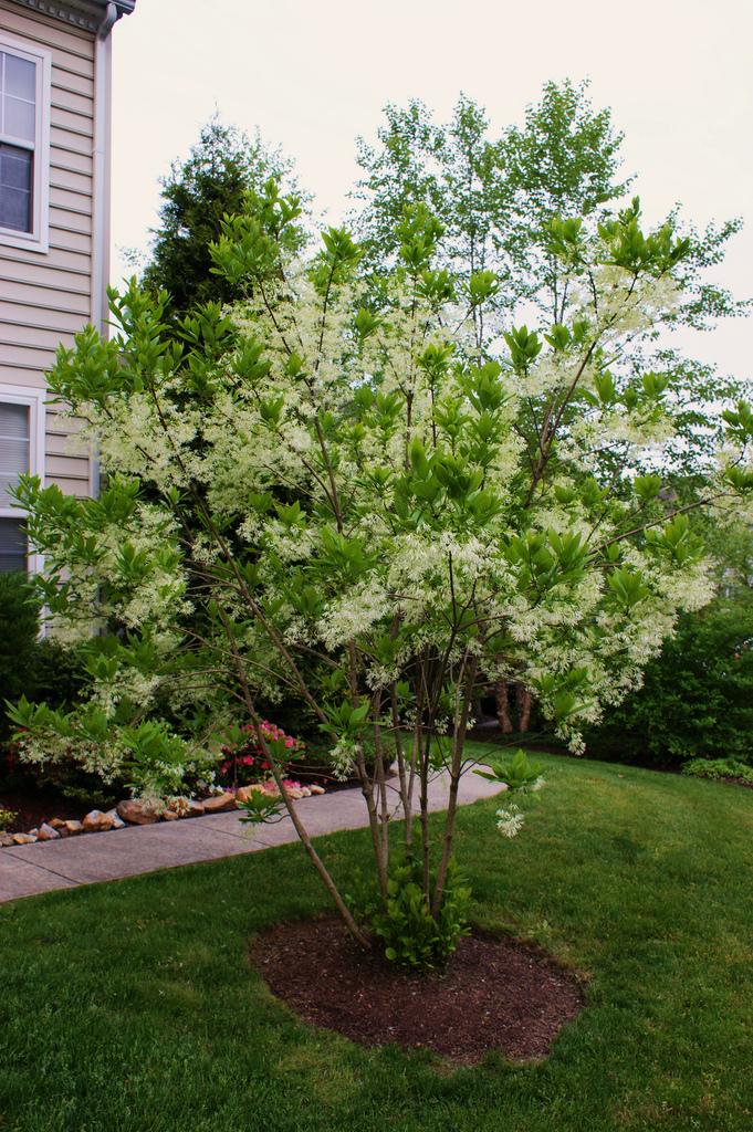 Chionanthus virginicus aka White Fringe Tree.