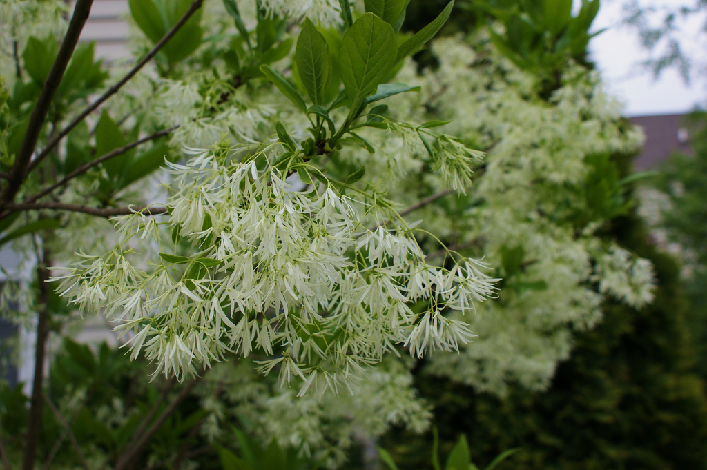 Chionanthus virginicus bloom. Photo again by Karl Gercens III.
