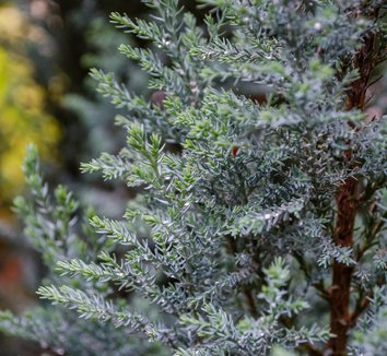 Chamaecyparis lawsoniana 'Blue Surprise' 1