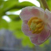 Podophyllum peltatum 'Missouri May'