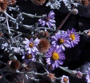 Corethrogyne filaginifolia 'Silver Carpet' 8 flower