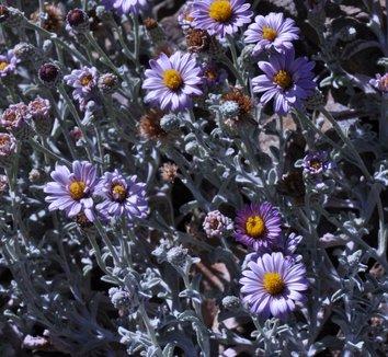 Corethrogyne filaginifolia 'Silver Carpet' 6 flower