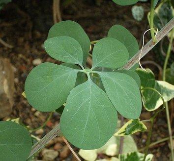 Adenia fruticosa 1