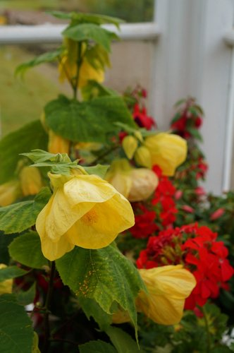 Abutilon Canary Bird Canary Bird Flowering Maple Plant Lust