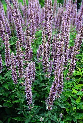 giant hyssop blue fortune - photo #25