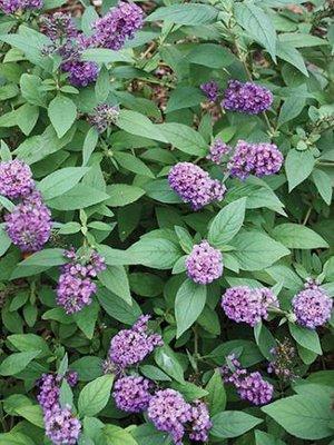 Wonderful Buddleja | plant lust JL58