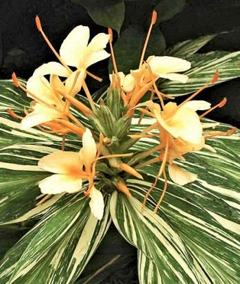 Hedychium Vanilla Ice Hardy Ginger Lily Hardy Ginger