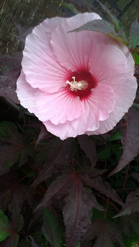 Hibiscus Summer Storm Pp20443 Summer Storm Mallow Plant Lust