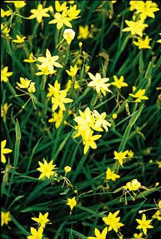 Sisyrinchium Tinctorium Puerto Yellow Coll A1m 47