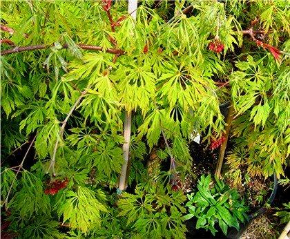 Acer Japonicum Green Cascade Green Cascade Japanese Maple