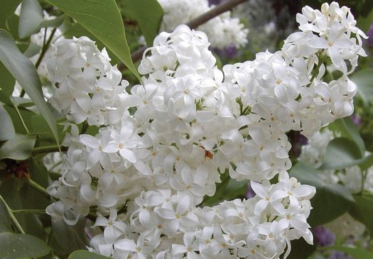 Syringa x hyacinthiflora angel white angel white lilac plant lust photos descriptions mightylinksfo