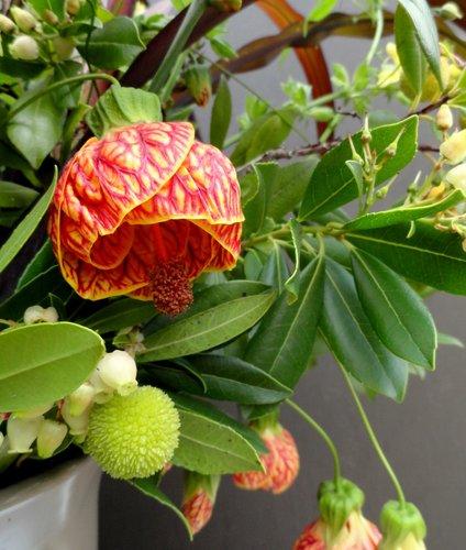 Abutilon Tiger Eye Tiger Eye Flowering Maple Plant Lust