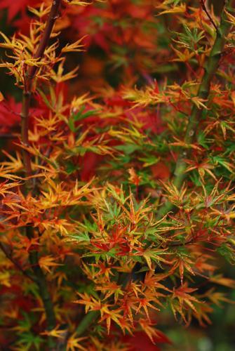 Acer Palmatum Okushimo Okushimo Japanese Maple Plant Lust