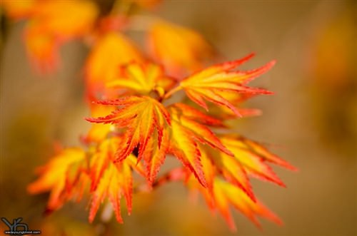 Acer Palmatum Orange Dream Orange Dream Japanese Maple Plant Lust