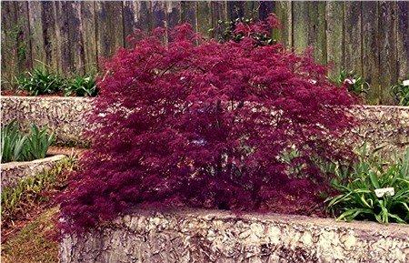 Acer Palmatum Red Filigree Lace
