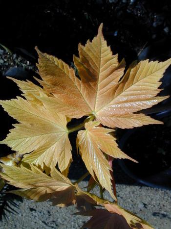 Acer Pseudoplatanus Prinz Handjery Prinz Handjery Sycamore Maple