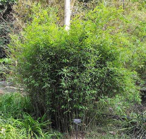 fargesia murielae fargesia murieliae umbrella bamboo plant lust. Black Bedroom Furniture Sets. Home Design Ideas