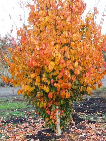 Parrotia Persica Vanessa Vanessa Upright Ironwood Tree