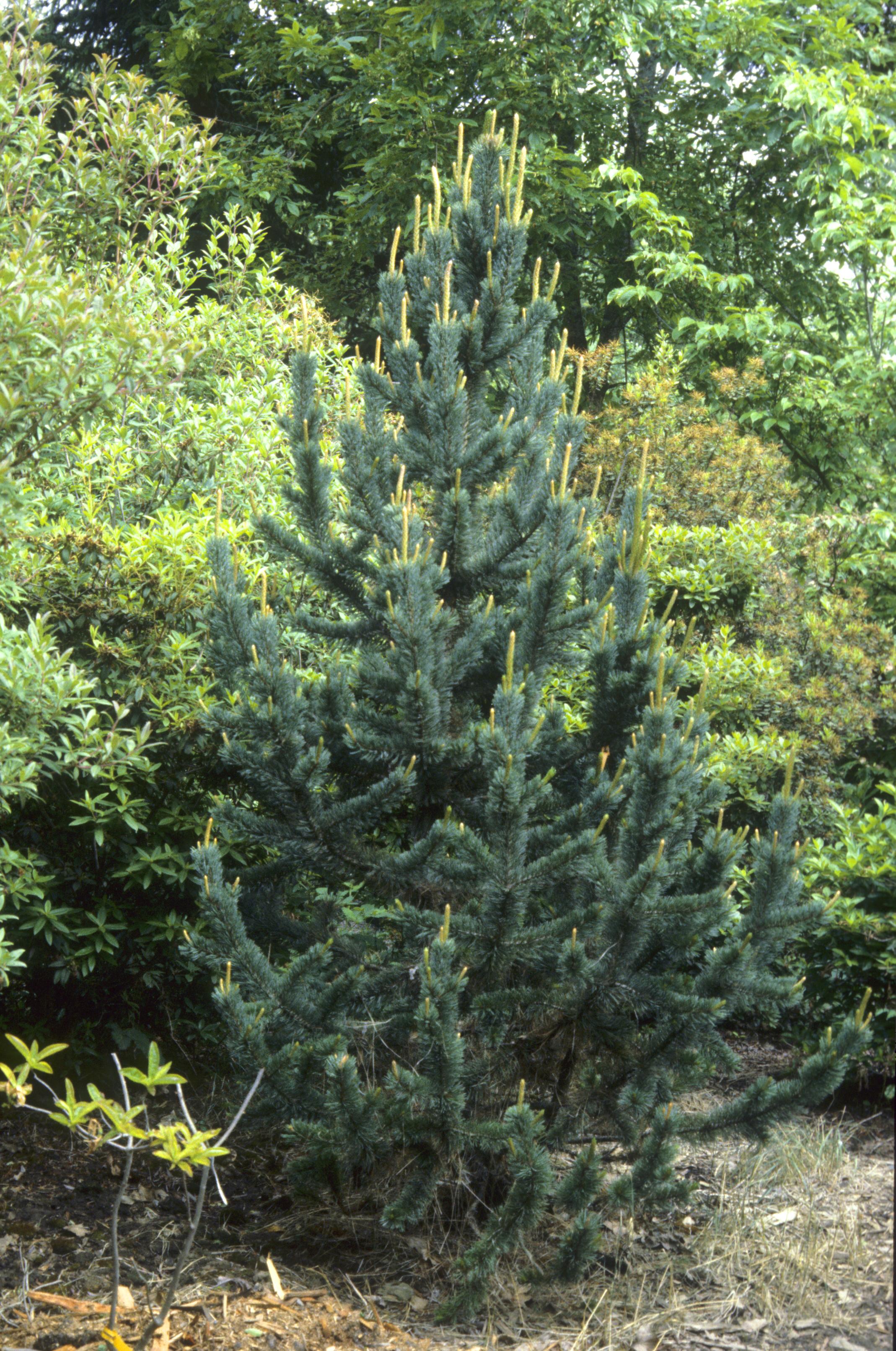 Photo 24108 Pinus Aristata Plant Lust
