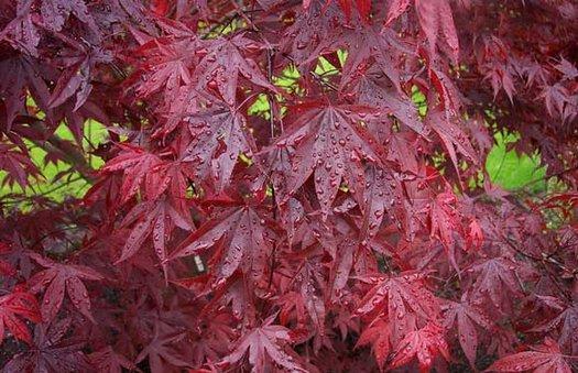 Acer Palmatum Emperor 1 Acer Palmatum Red Emperor Acer