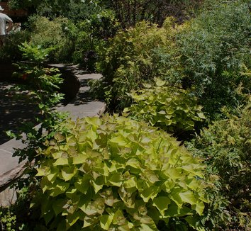 catalpa bignonioides 39 aurea 39 indian bean tree plant lust. Black Bedroom Furniture Sets. Home Design Ideas
