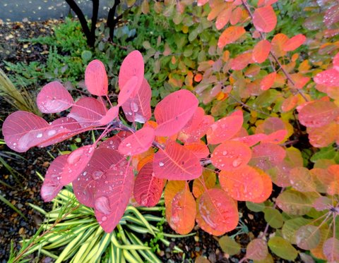 Cotinus coggygria 'Royal Purple' | Royal Purple Smoke Bush ...