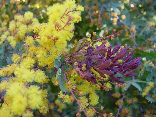 Acacia Baileyana Purpurea Purple Fernleaf Acacia Plant Lust