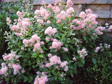 Ceanothus X Pallidus Marie Simon California Lilac