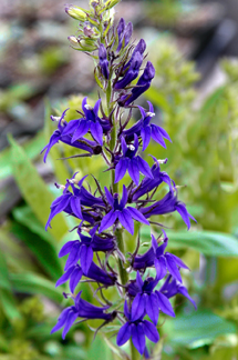 Lobelia X Speciosa Fan Blau Lobelia Speciosa Fan Blue Plant Lust