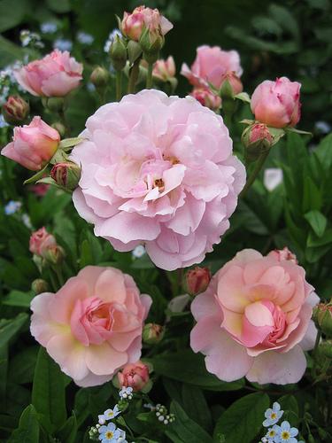 Rosa Cornelia Cornelia Musk Rose Plant Lust
