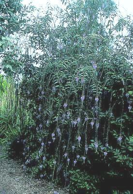 Photo #22770 | Buddleja lindleyana | plant lust