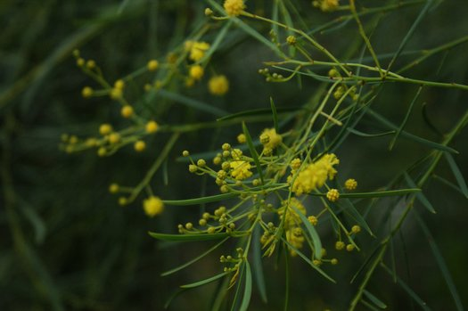 Acacia Iteaphylla Willow Wattle Plant Lust