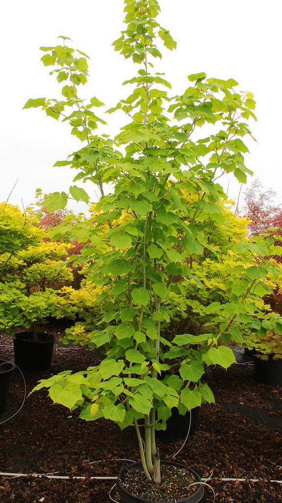 d2a94202cd Photo #57254 | Acer tegmentosum 'Joe Witt' | plant lust