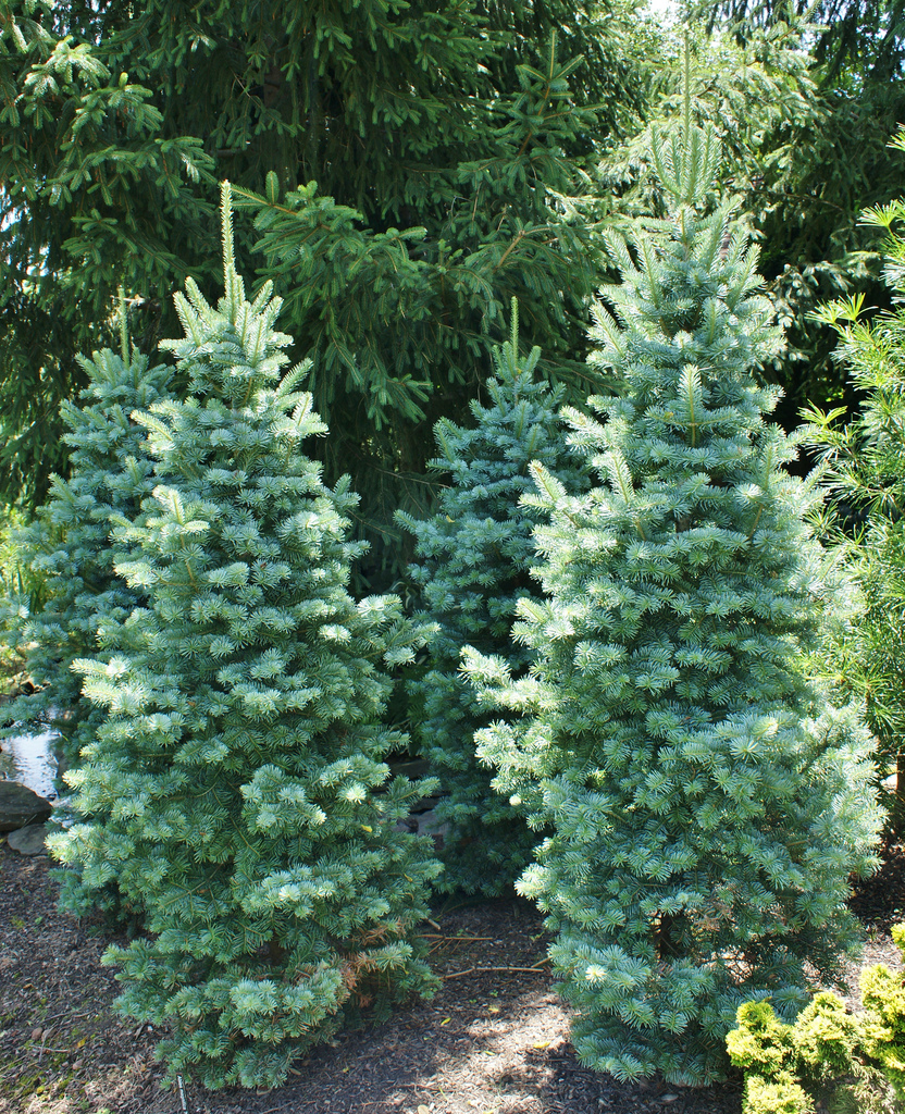 Photo 64761 Abies Magnifica Nana Plant Lust